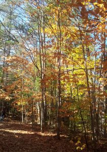 New Hampshire autumn forest blazing with yellow foliage